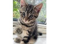 Male kitten ragdoll x longhair tabby for sale