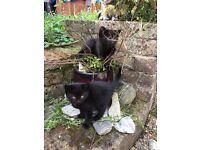 Male & Female Kittens - Dark Long Haired