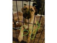 Staffy x German shepherd puppies 3 left
