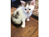 For Sale Lovley Kitten Last One See For Photos And Also Info