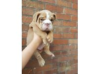 Lilac British bulldog boy pup