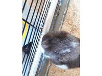 2 guinea pigs + cage