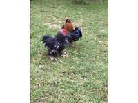 Male Cockerel / Chicken / cocks for sale