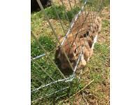 Girl lop eared bunny