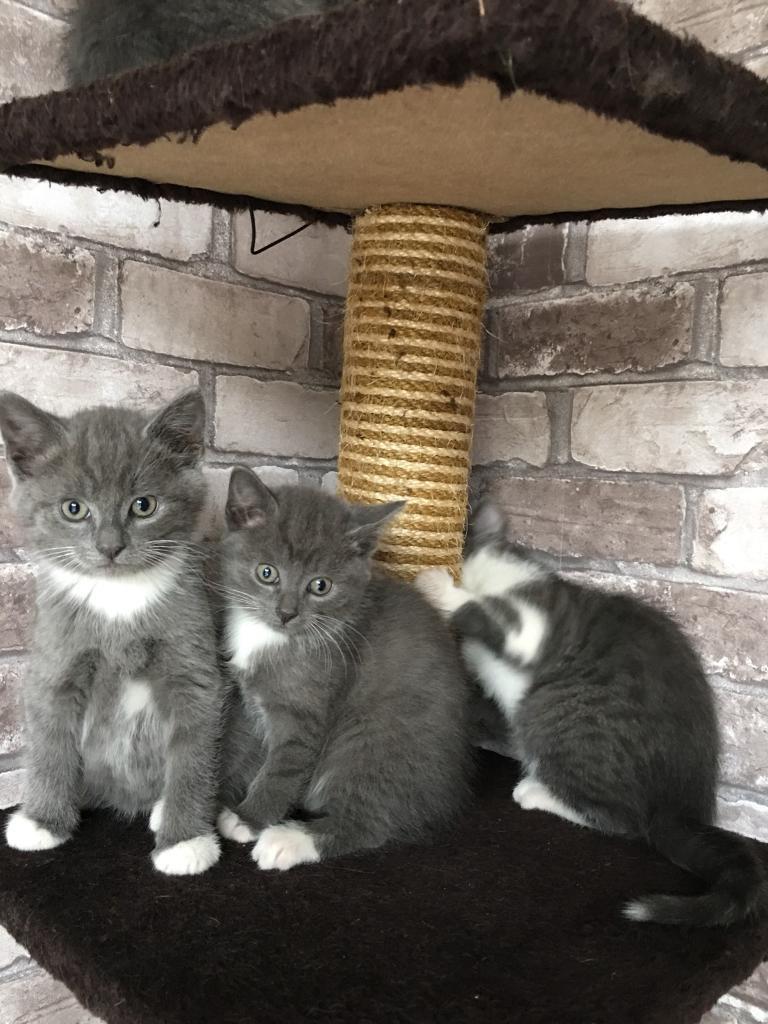 Mackeler Tabbies Kittens