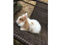 Baby mini lionhead rabbits