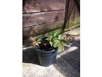 Plant Virginia creeper