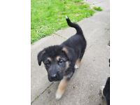 Alaskan Shepherd Male Puppy for sale