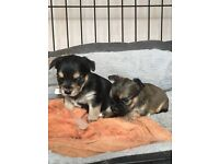 Last 2 chorkie pups for sale