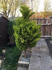 Conifer / hedge tree