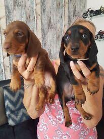 Superb miniature dachshunds