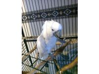 Umbrella Cockatoo, Will go to a family home only