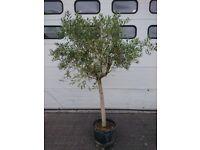 Olive tree (8ft tall)
