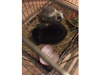 Beautiful 8 month female mini lop rabbit