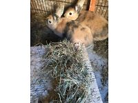 2 pretty female Rabbits - sisters free to good home