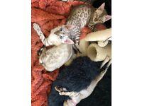 Pedigree TiCa registered Bengal Kittens