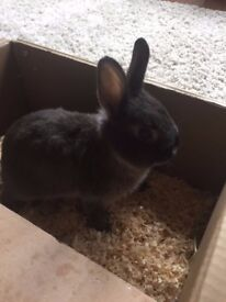 1 year old Netherland Dwarf rabbit looking for loving home