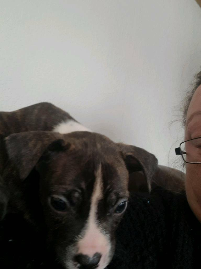 Staffy x American bulldog | in Bulwell, Nottinghamshire ...