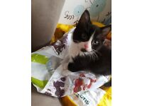 3 black and white kittens 12 weeks old fully trained and wormed. ready to go to a loving home