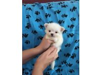 Gorgeous very small tiny fluffy white teacup Maltese X puppy