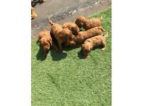 F1 fox red cockapoo puppies
