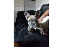 Blue stable french bulldog puppy