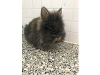 BABY FULL BREED NETHERLAND DWARF BABY RABBIT