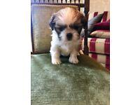 Shih tzu pedigree pups