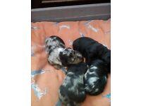 Doxipoo puppie for sale silver dapple