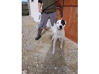 Bull greyhound cross 9 month old