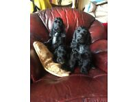 Kennel Club registered black cocker spaniel bitches for sale