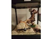 CORN SNAKE, INCLUDING KOMODO TANK, AND ALL ACCESSORIES, NEEDS GOOD HOME, OFFERS