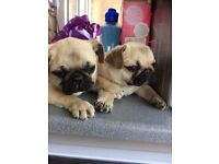Pug puppys