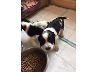 Springer Spaniel Pups For Sale