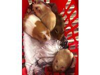 Girl guinea pigs
