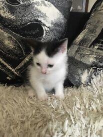 10 week old kittens,