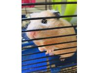 Hamish the Hamster and cage looking for a kind home