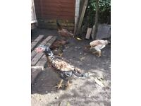 Four Healthy Aseel chickens - £30 each