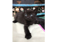 HANDSOME BLACK male kitten cat w TONAL grey striation dots READY NOW can deliver