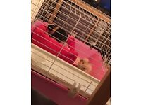2 MALES GUINEA PIGS/CAGE