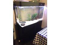 Fish Tank & Silver Cichlid for Sale £300 ono