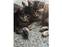 Kittens. Tabby