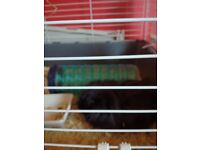 Guinea pigs need new home