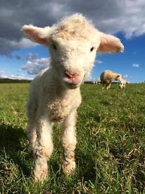Farmhand farm job lambing Sherpherdess Shepherd