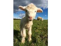 Farmhand farm job lambing Sherpherdess Shepherd