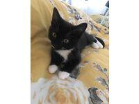 18 week old female kitten