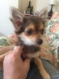 12 week old chihuahua vacations included in price!