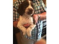 Sprocker male puppies brown & white or chocolate colour