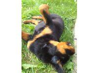 KC REG Rottweiler puppies