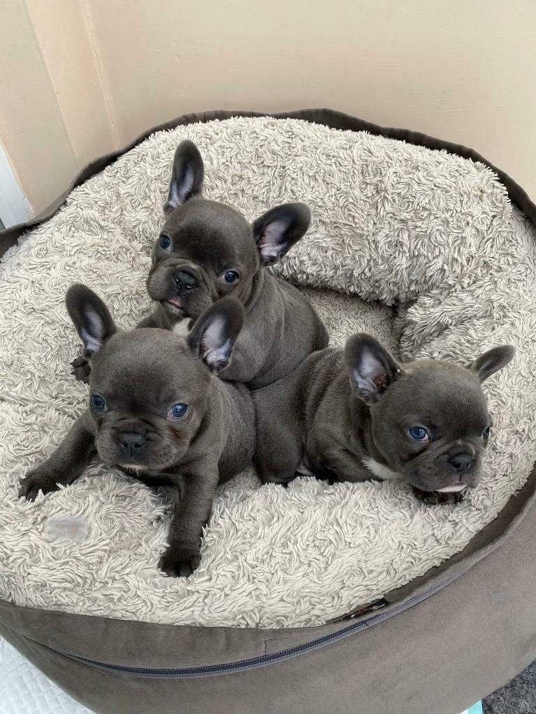 Top quality KC Registered French Bulldog puppies for sale! | in St Helens,  Merseyside | Gumtree